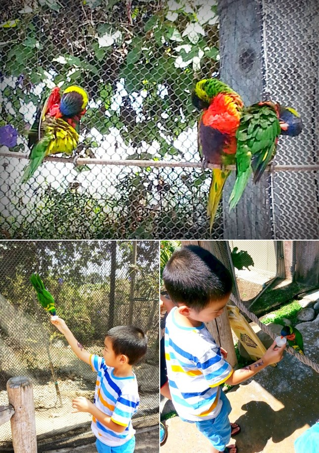 lorikeet collage