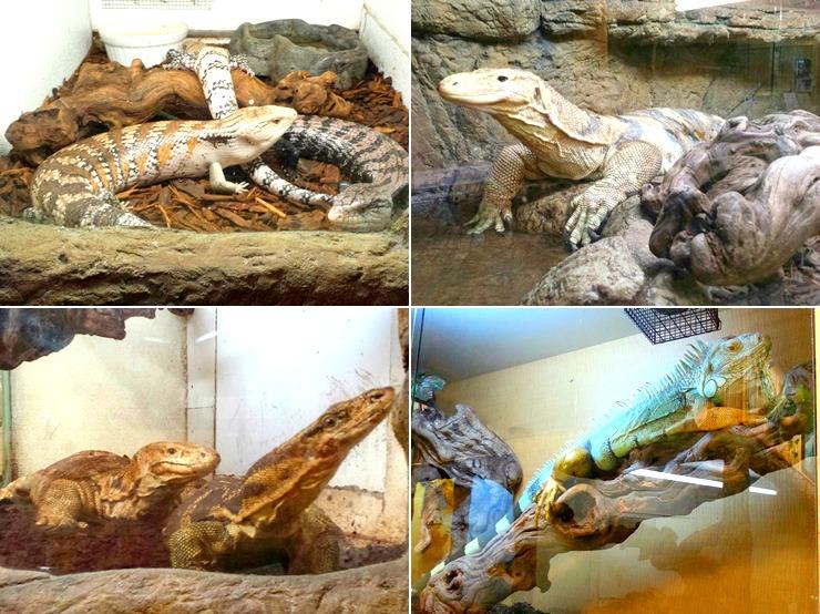 11 iguanas
