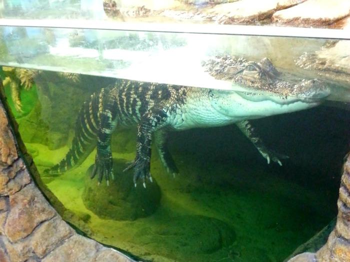 9 alligator